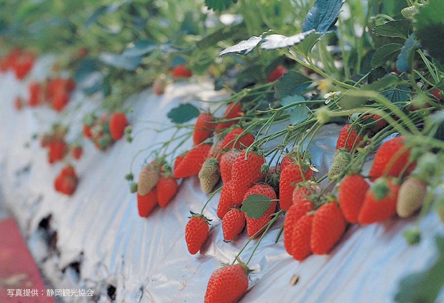 静岡県果物狩り
