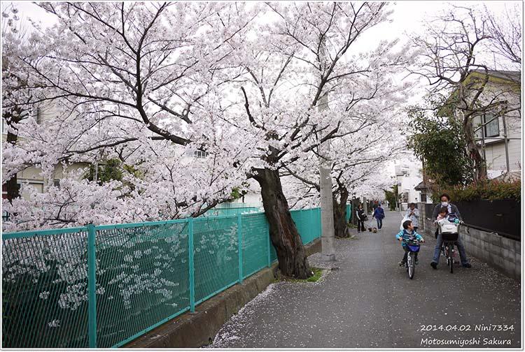 in_tw_sakura_10