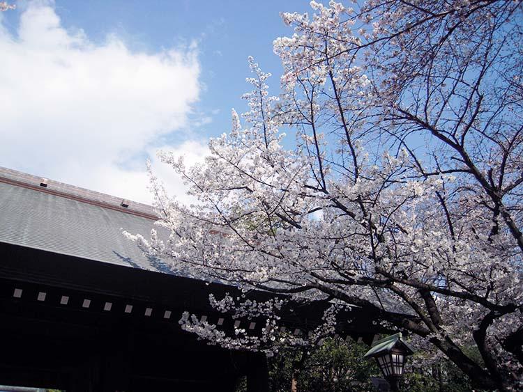 in_tw_sakura_00